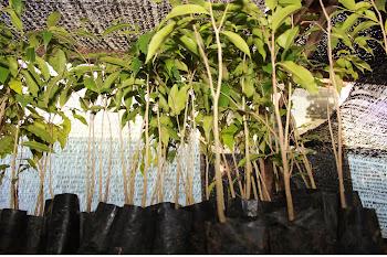 Pokok Gaharu tinggi 1 - 2 kaki - subintegra