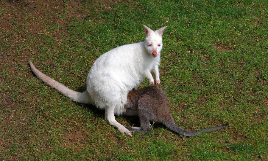 1. Albino Kangaroo by Grit Ende