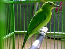 Gambar Cara Merawat Burung Bancit