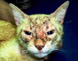 Gato com sarna escabiose