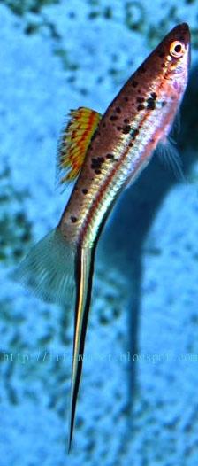 Rio Otapa Swordtail