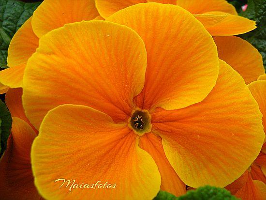 Orange primrose macro-Primula hortensis