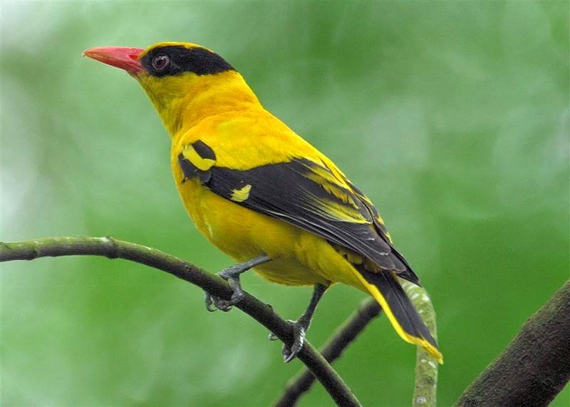 Foto Burung Kepodang Jawa Jantan