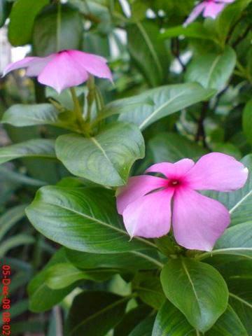 Jual Tapak Dara (Vinca rosea) | suplier tanaman | jasa desain taman