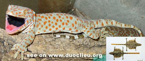 Gekko gecko L.