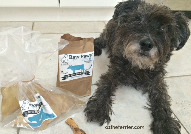 Oz the Terrier loves his Raw Paws Pet Food natural cow ears and beef braided intestine dog treats