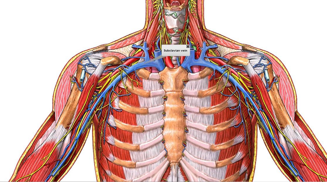 Increíble Anatomía De La Vena Subclavia Festooning - Imágenes de ...
