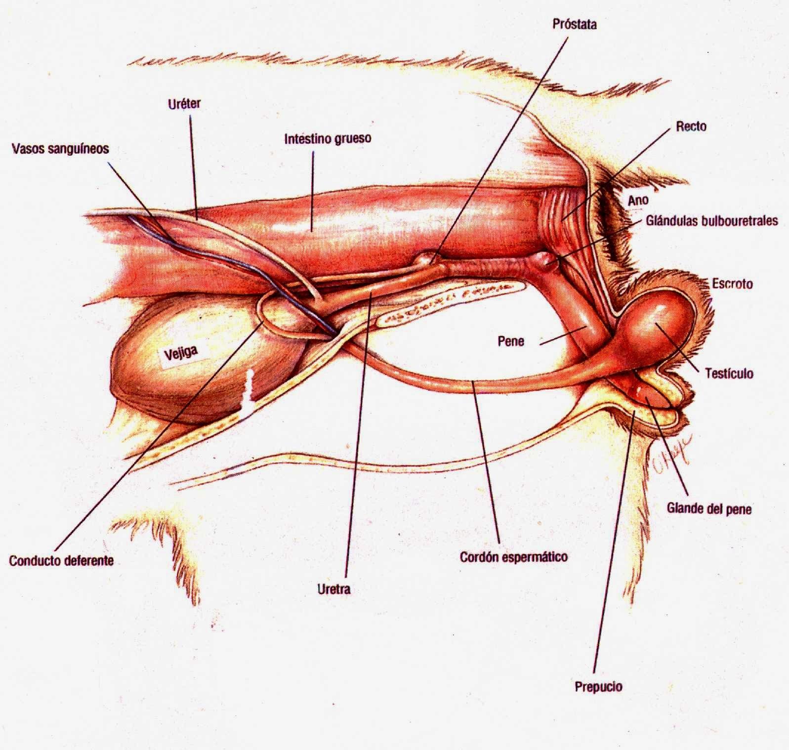 sistema reproductor del perro