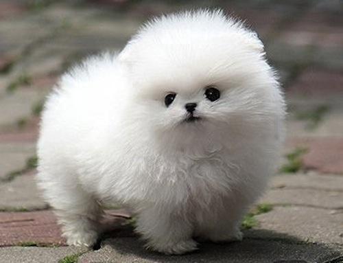 Cute Fluffy Pomeranian Puppies wallpaper background