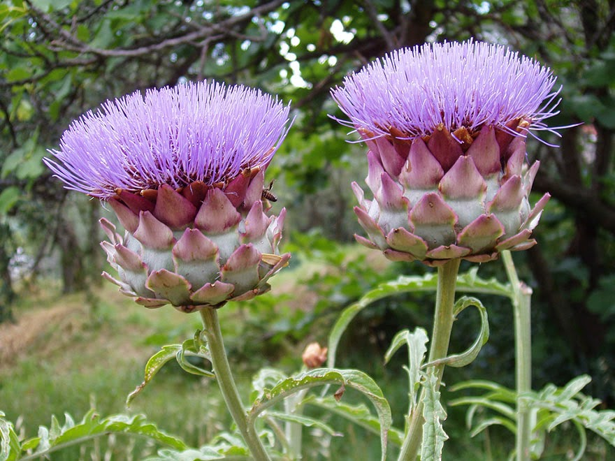 Do You Know What Your Favorite Foods Look Like While Growing - Artichokes bloom with purple-colored flowers on top.