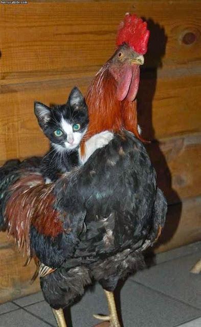 Gambar Hewan Lucu - foto kucing naik ayam