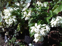 bunga nusa indah warna putih