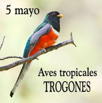 Trogones tropicales