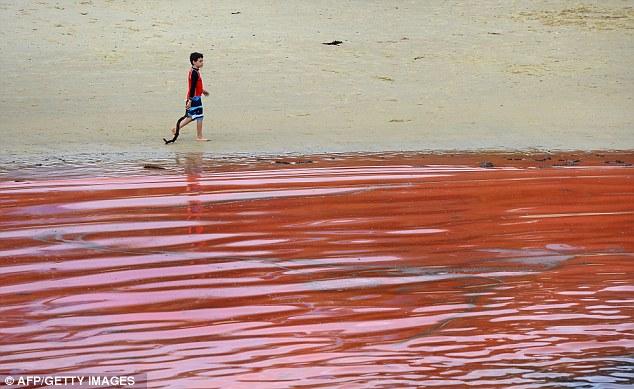 http://silentobserver68.blogspot.com/2012/11/le-alghe-rosse-bondi-beach-fanno.html