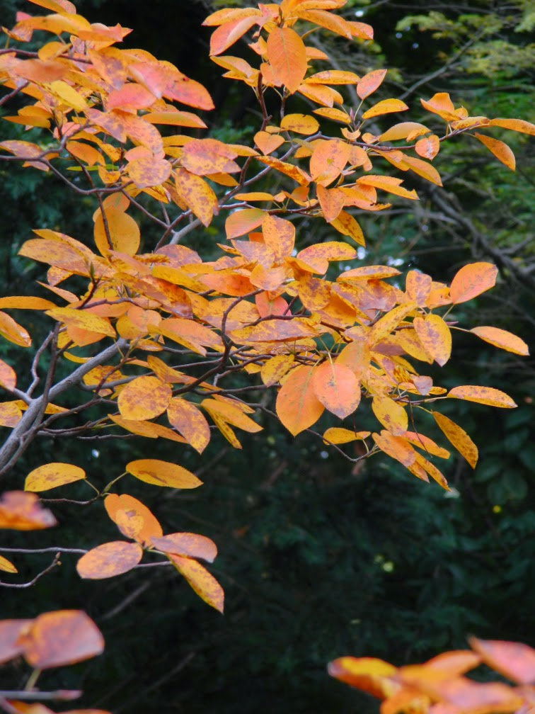 Serviceberry Amelanchier arborea autumn foliage by garden muses-not another Toronto gardening blog