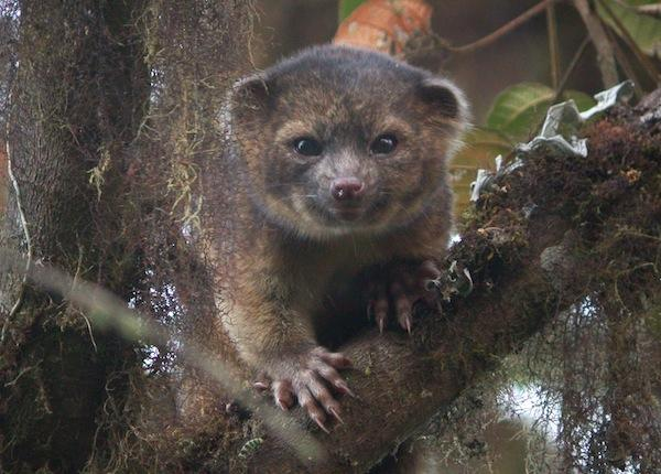 Meet the olinguito the worlds newest mammal (Video)