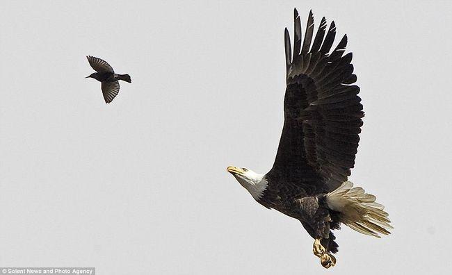 صورة نادرة لنسر يطير و يلتقط فريسته في الهواء