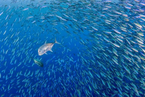 http://newswatch.nationalgeographic.com/2014/09/09/palau-expedition-the-sea-was-boiling-with-fish/