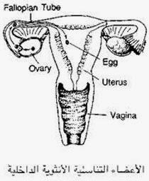 شرح للأعضاء التناسلية للأنثى الحياة الجنسية