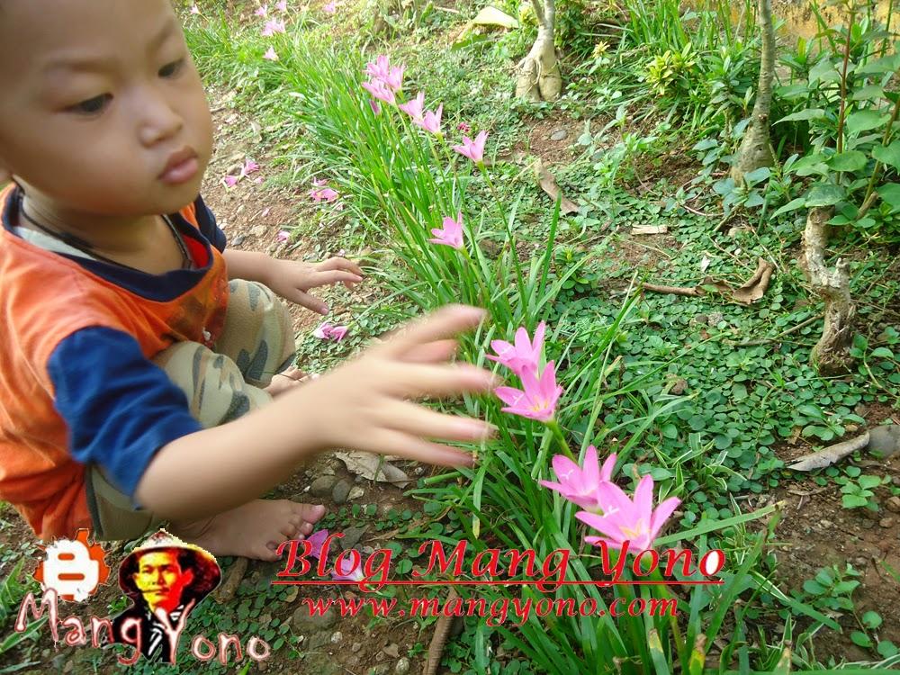 Memetik Bunga Fairy lily ( Zepyranthes) di taman