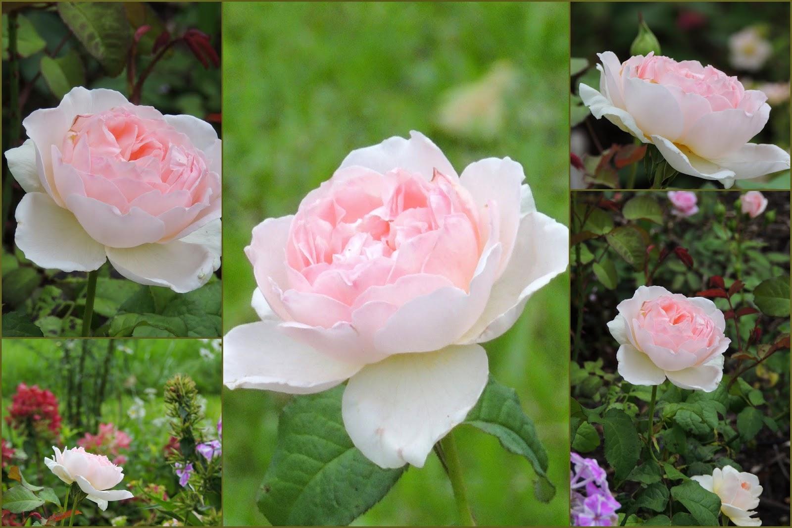 Il etait un petit jard 39 ain gloriette en folie - Deplacer un rosier ...