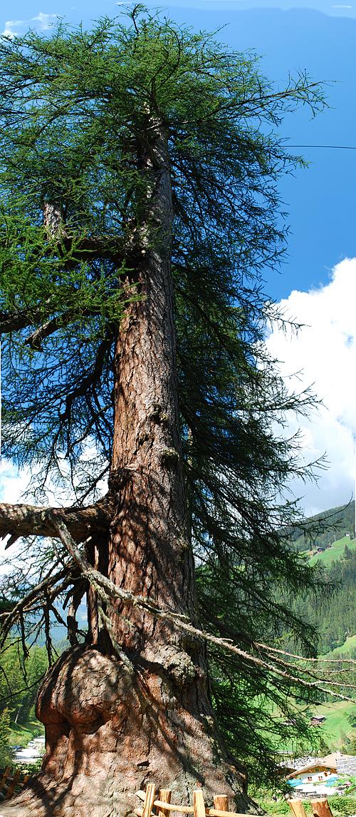 Alberi e dintorni storie di alberi i larici della val d for Alberi alto fusto nomi