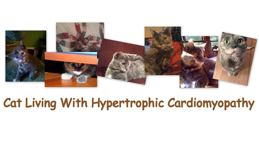 Cat Living with Hypertrophic Cardiomyopathy