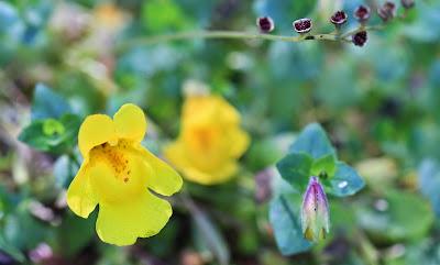 Erythranthe guttata (Seep Monkey-Flower)