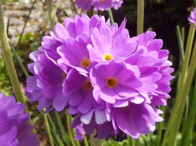 flowers in Sizergh Castle rock garden