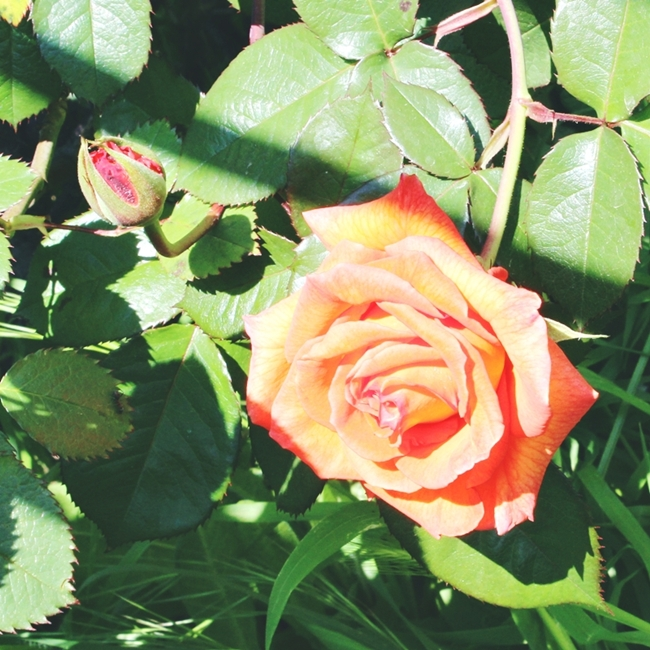 Instagram @lelazivanovic.Coral/orange rose.Narandzasta ruza.