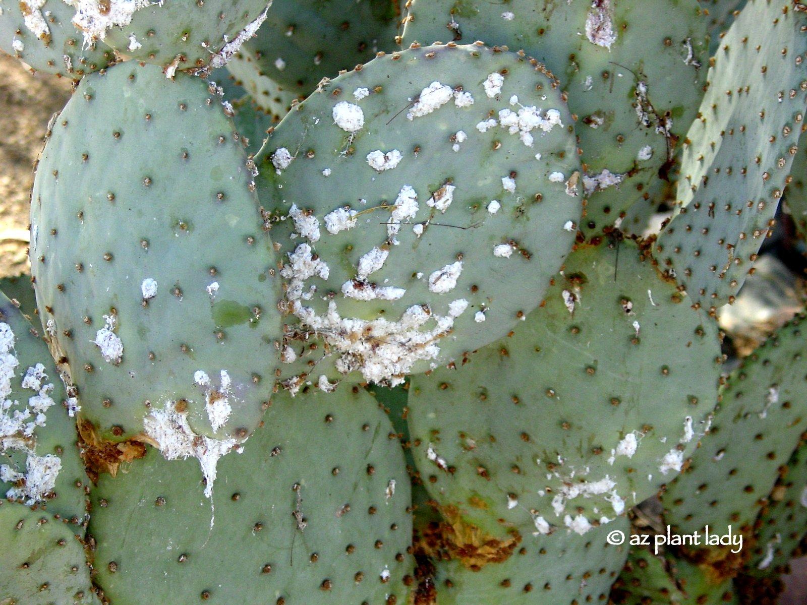 Purple Prickly And Beautiful Santa Rita Prickly Pear Ramblings