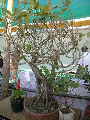 banyan tree bonsai plant