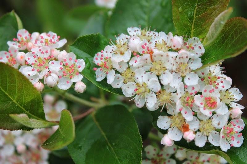 Fiore di aronia