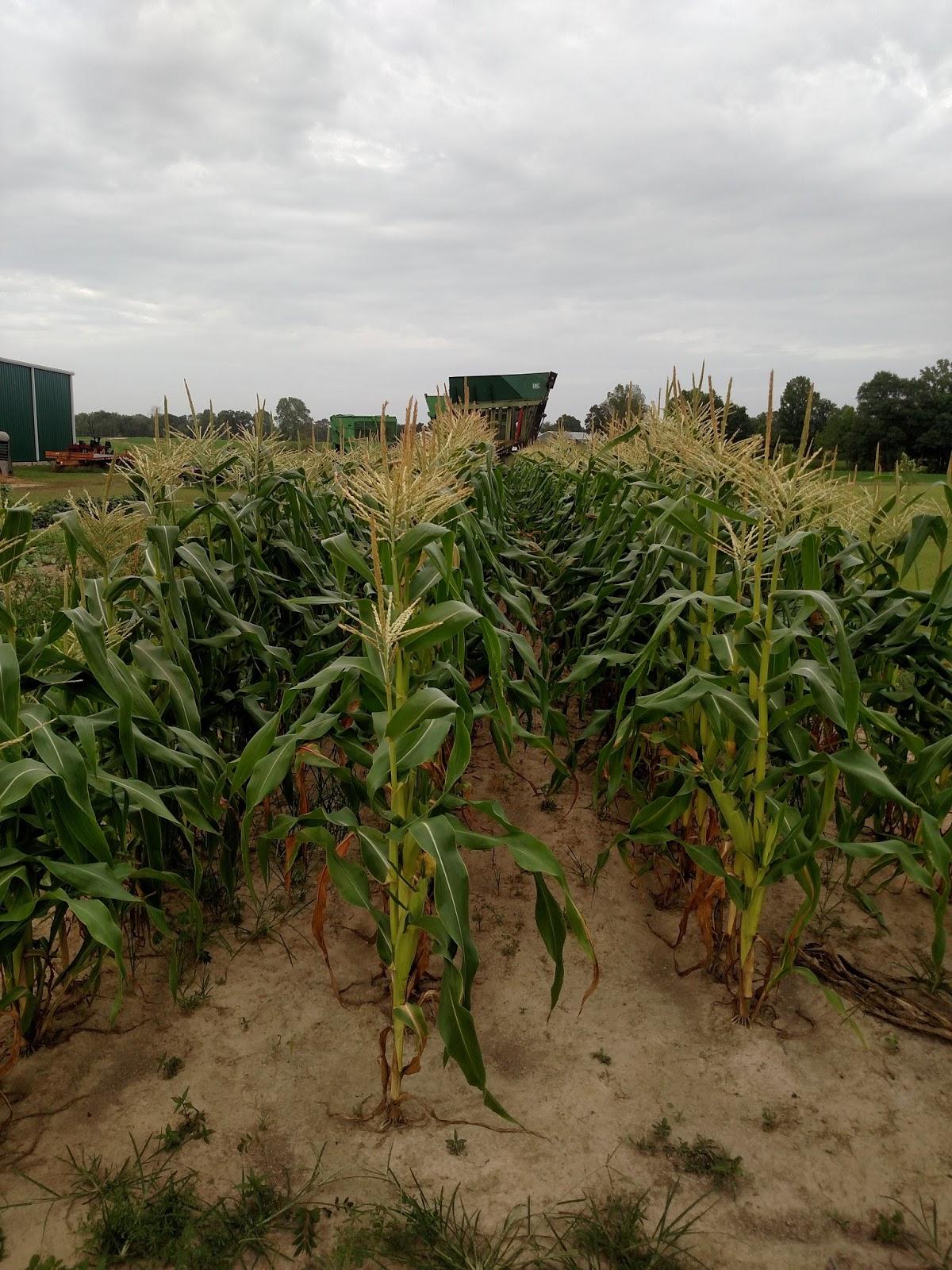 Growing Heirloom Corn Varieties  Little House on the Prairie