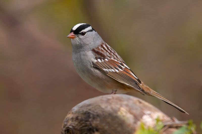 Birds: White-Crowned Sparrow