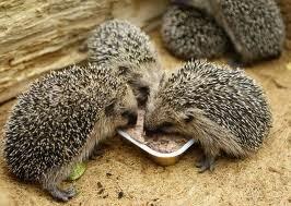 Peternakan Hamster Sugarglider Dan Tikus Putih Makanan Landak