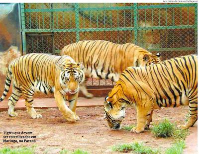 Os tigres de Maringá - Um Asno