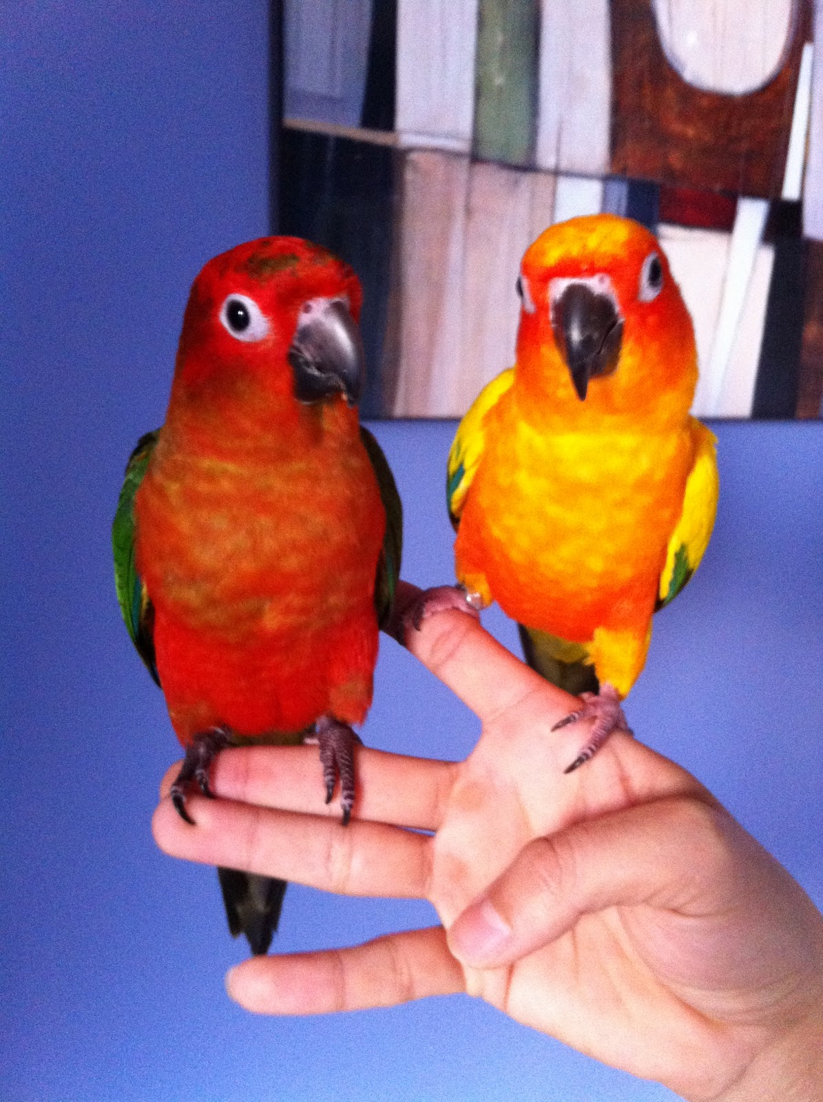 Red factor sun conure