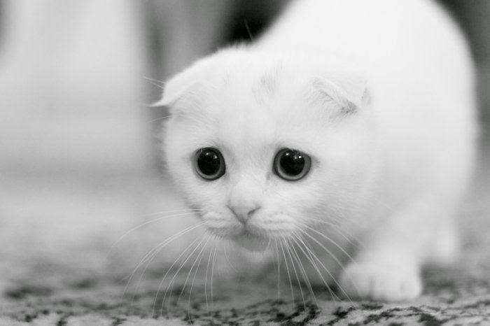Kucing Imut warna Putih