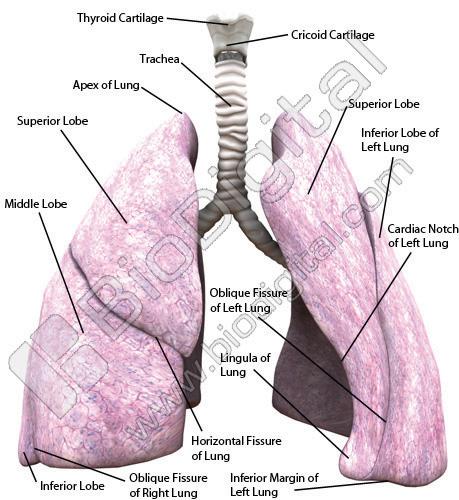 Sistema respiratorio. Prácticas de laboratorio de