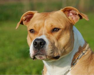 Terrier Americano Staffordshire