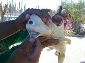 hiu albino mata satu