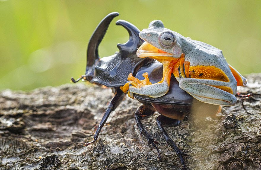 cowboy frog riding beetle animal photography-8