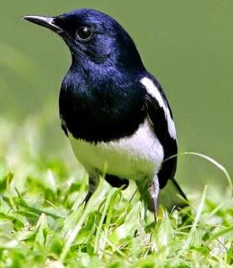Gambar Cara Merawat Burung Kacer Poci