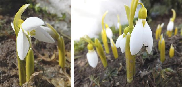 Весна - подснежники