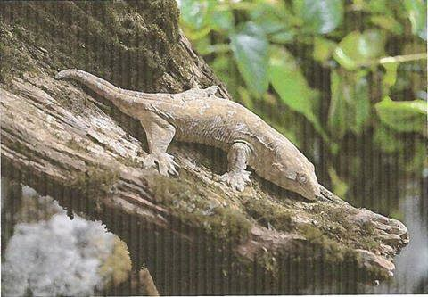 image Large Rare Leachie Gecko Lifted from Peterborough Store