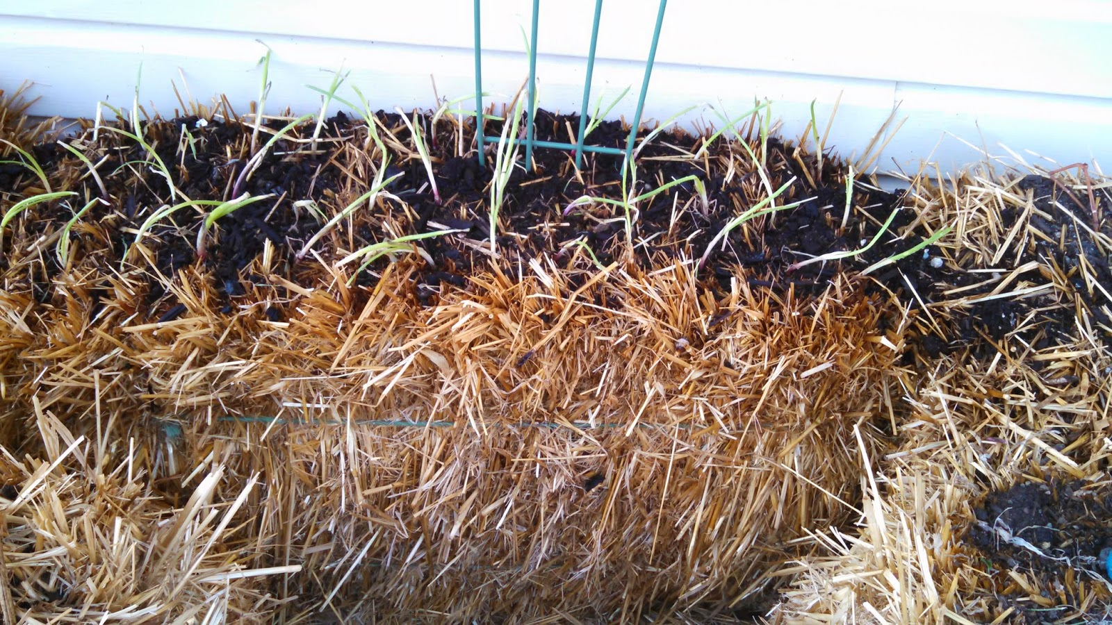 Onion Sets Planted in Straw Bale