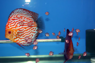 All about how you breed different types of discus fish.