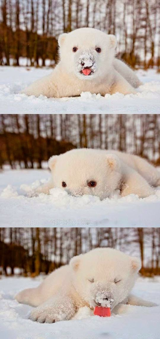 Baby polar bear playing