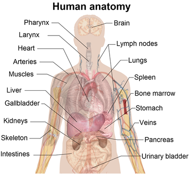 anatomy and physiology study guides review  human anatomy diagramhuman anatomy diagram